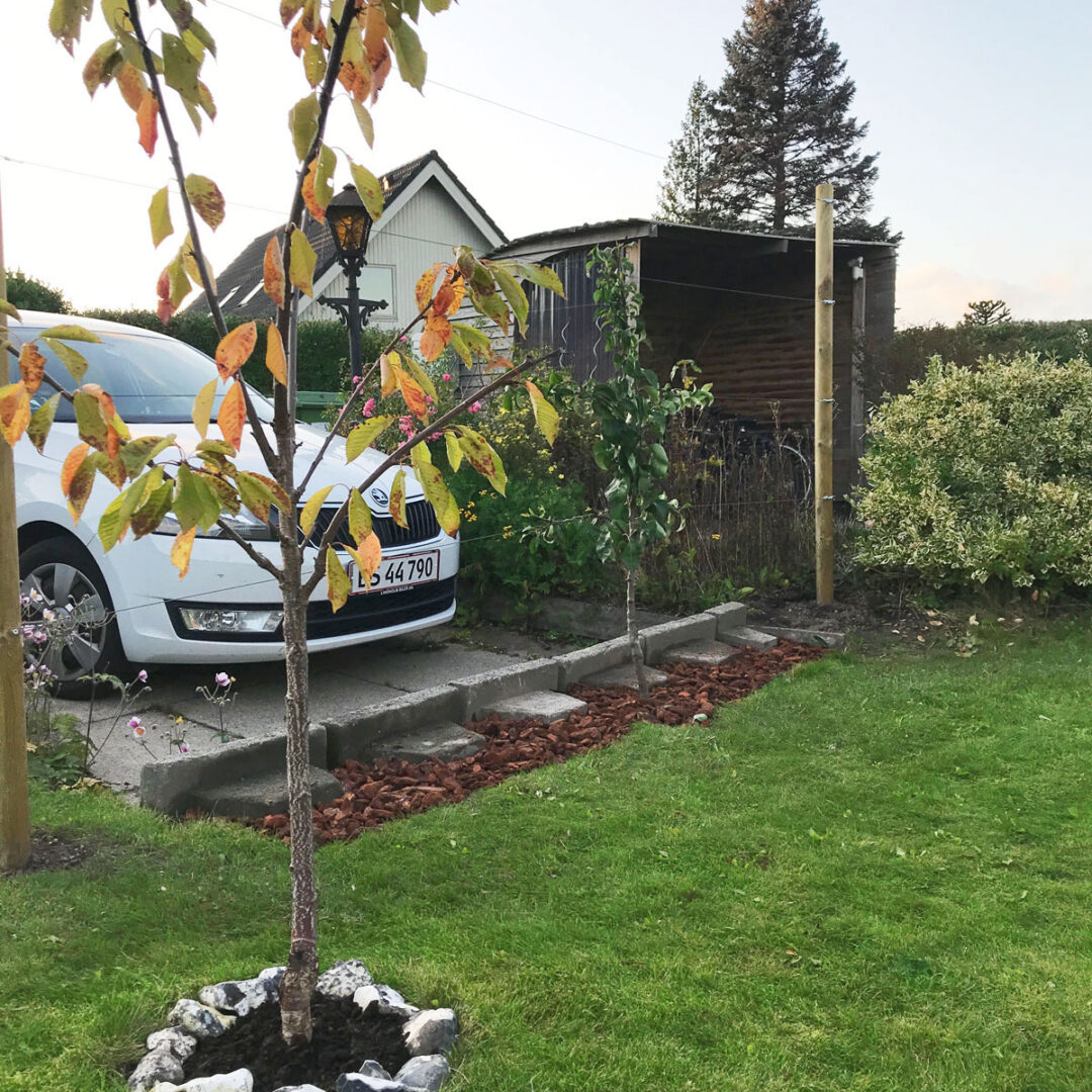 Pæretræ espalier – hjemmelavet